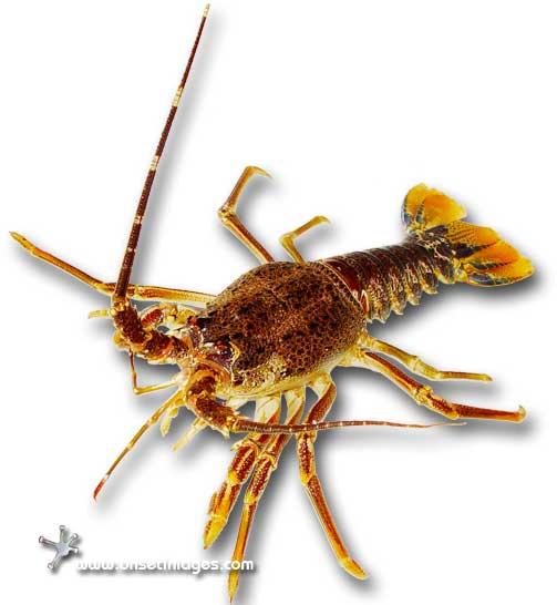 Crayfish or Lobster